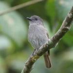 West Flores Birding Tours