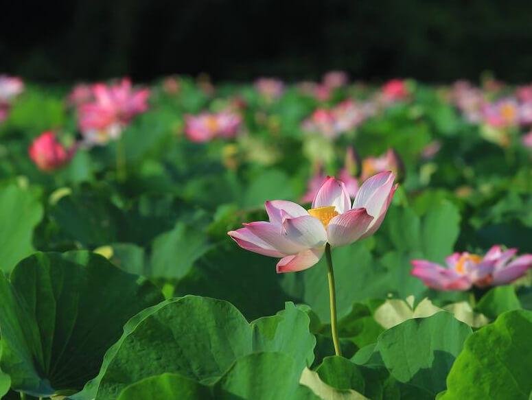 Giant Lotus - Flores
