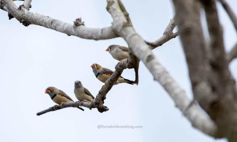 poco ndeki mount Zebra Finches - Poco Ndeki Flores Bird Watching
