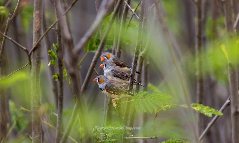Zebra-Finches - Flores-Birds