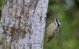 Woodpecker - Flores Bird Watching