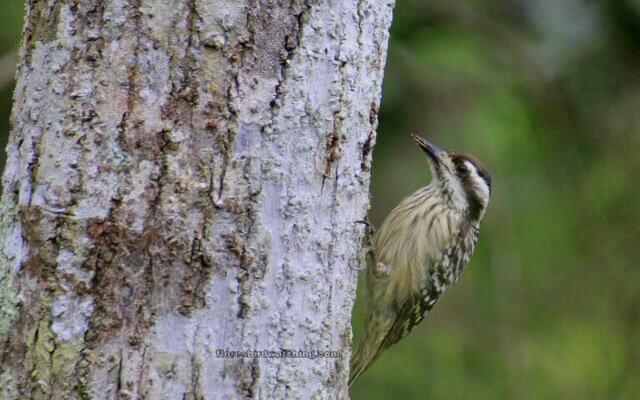 Woodpecker - Flores Bird Watching