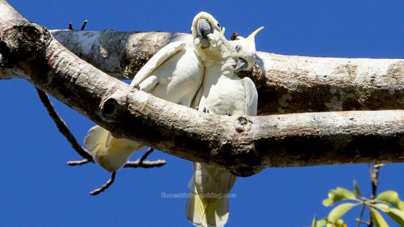 Yellow-crested cockatoo - Komodo – Sano Nggoang Flores Birding