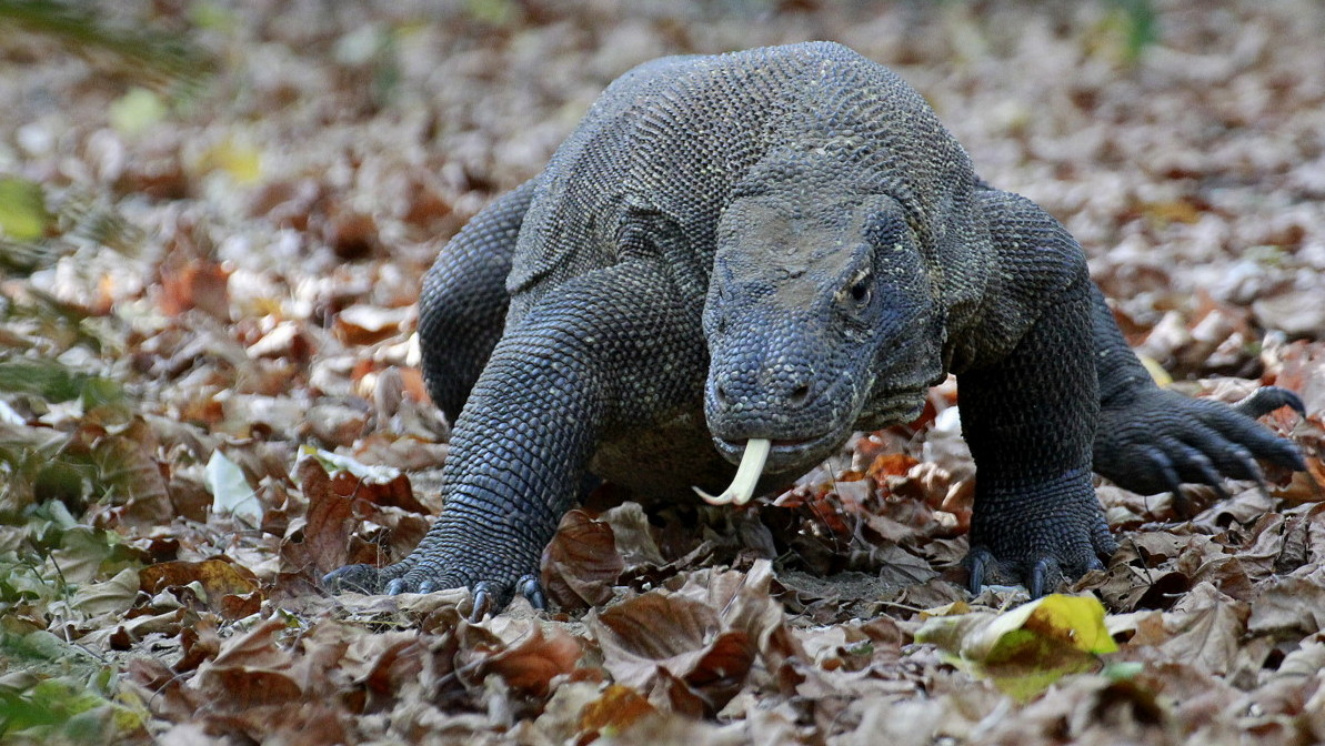 Komodo Dragon - Photo Tour