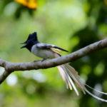 Nusatenggara Paradise Flycatcher