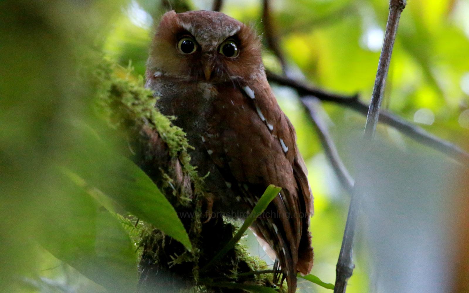 Flores Scops Owl, Otus alfredi, Flores Endemic birds