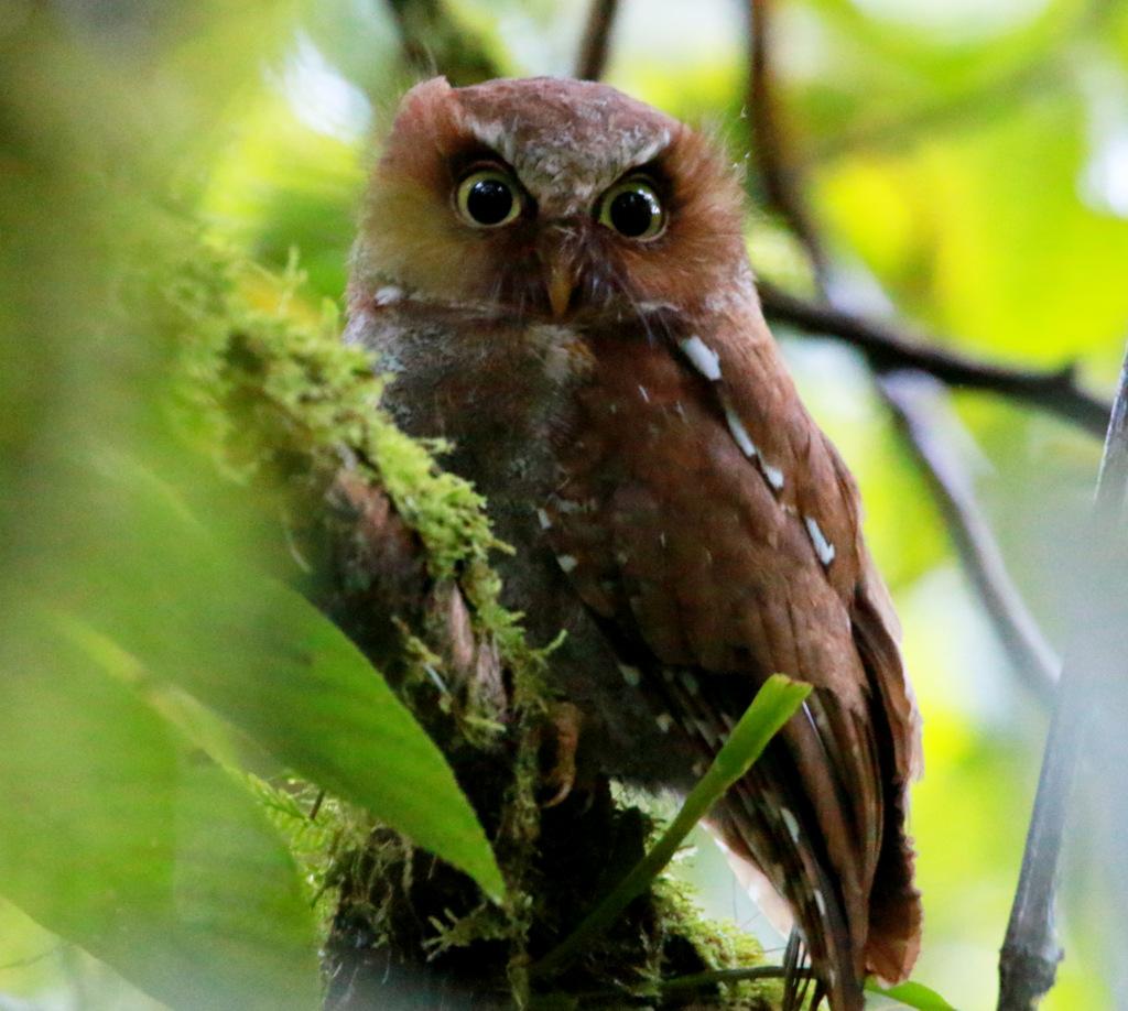 Flores Scops Owl - Flores Bird Watching