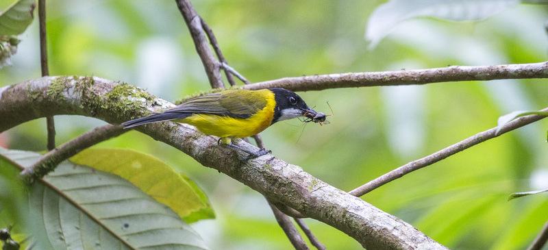 Tenggara-Whistler-Flores-Birding