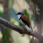 Black-banded-Flycatcher