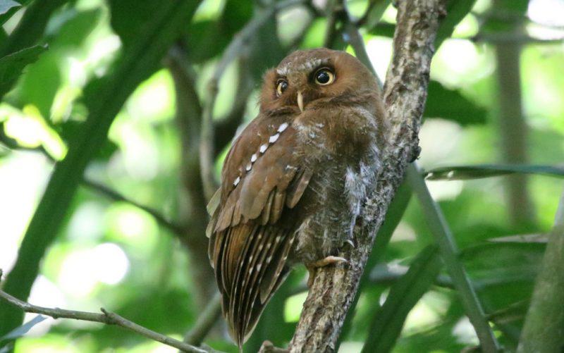 Flores-scops-owl