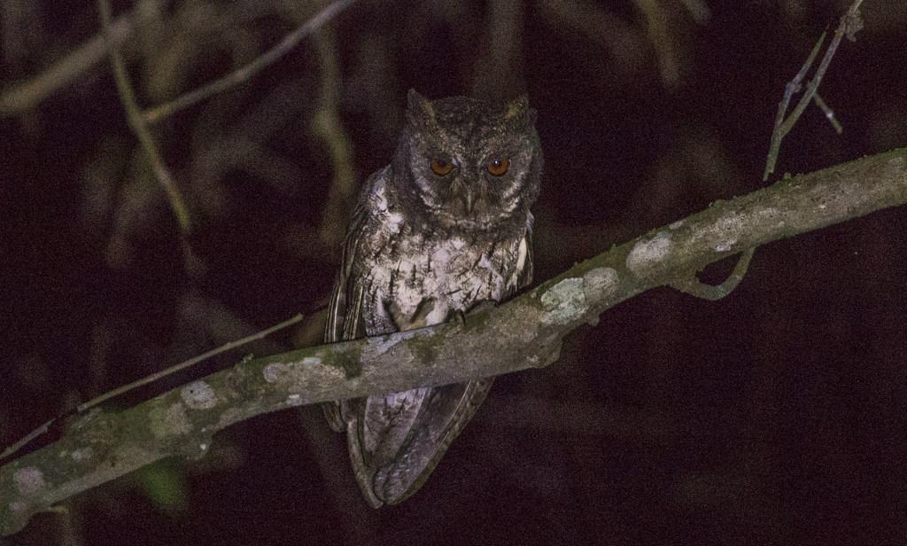 Komodo & West Flores Birding Tour