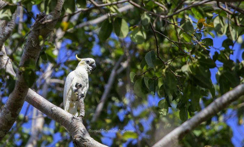 Yellow-Crested-Cockatoo-Komodo