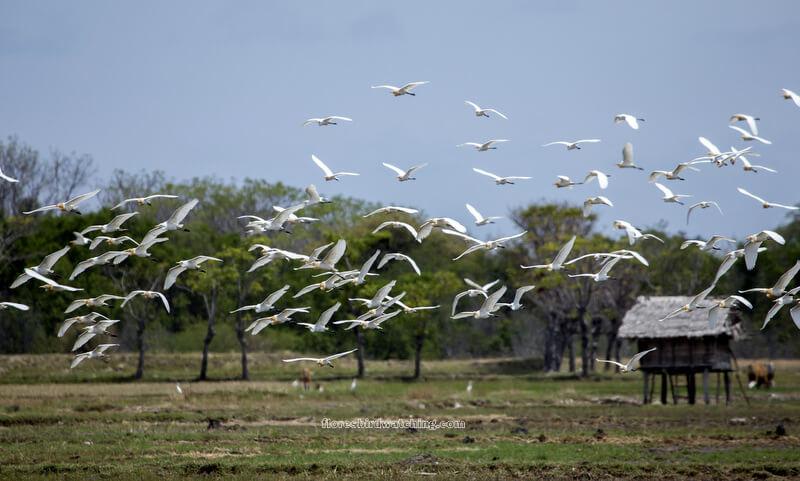 White Heron - Flores Birding Tours