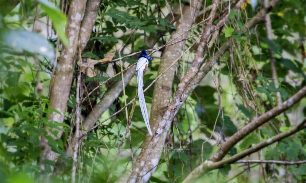 Nusa Tenggara Paradise Flycathcer