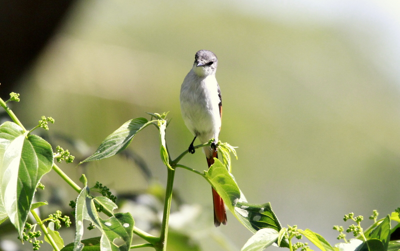 Flores Minivet (Pericrocotus lansbergei) - Ruteng, Flores