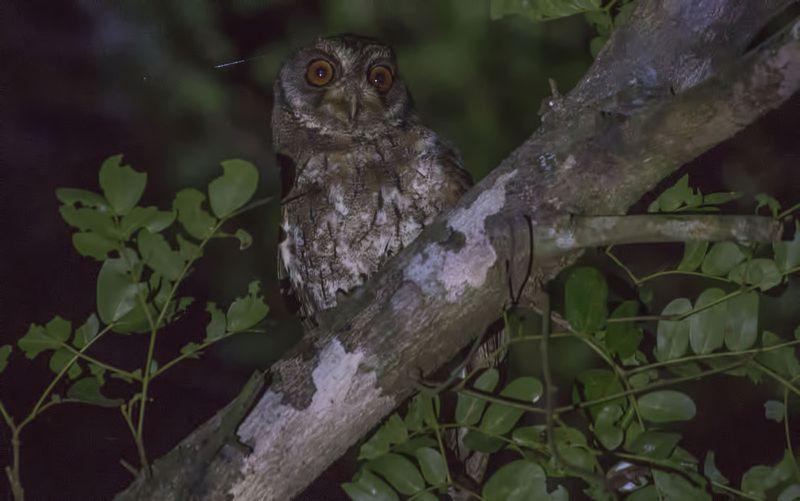 Moluccan scops owl (Otus magicus) at Komodo National Park