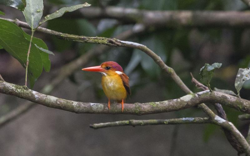 Rufous-backed Kingfisher (Ceyx rufidorsa)
