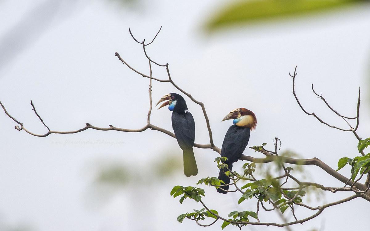 Sumba hornbill (Aceros everetti) - Sumba Birding