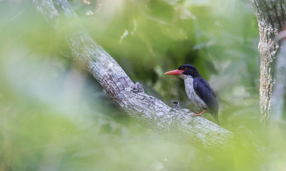 White-rumped Kingfisher (Caridonax fulgidus) - Sanonggoang - Flores