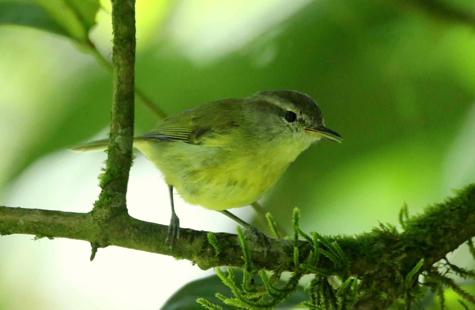 Flores-Leaf-Warbler