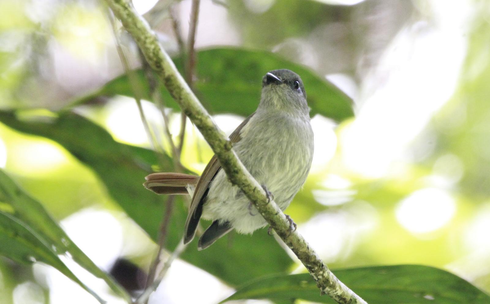 flores-jungle-flycatcher