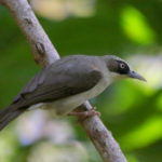 Thick-billed-Heleia