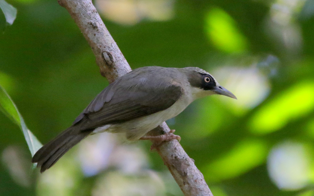 Thick-billed White-eye