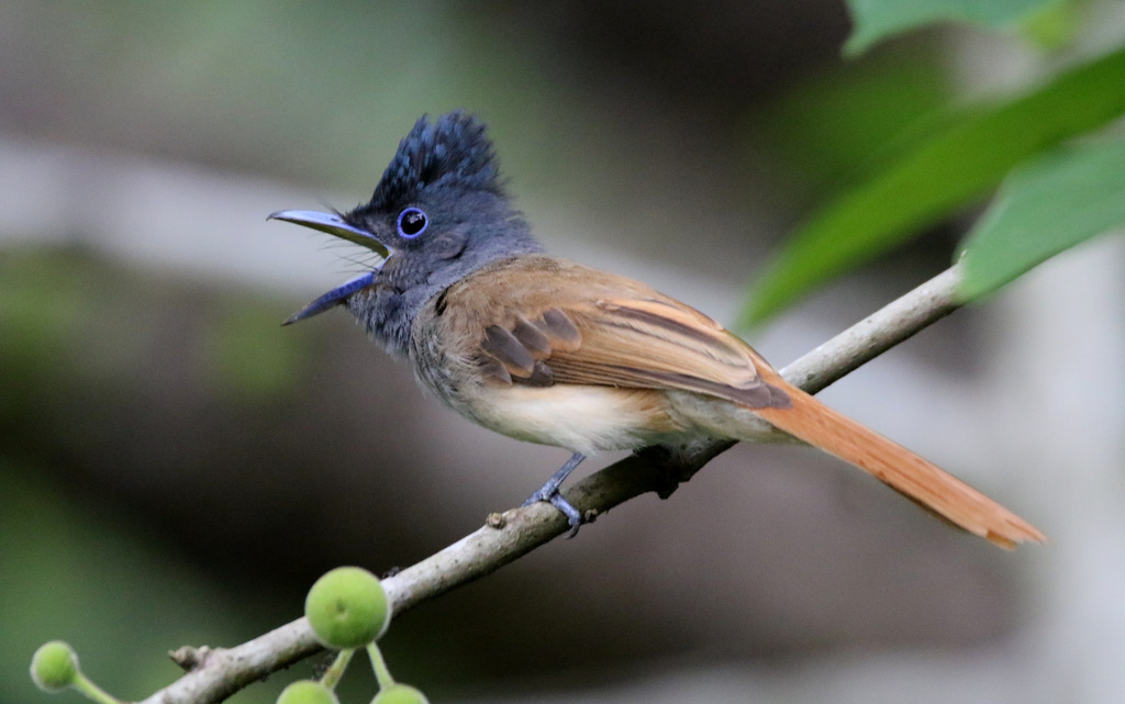 (female) Nusatenggara Paradise Flycatcher