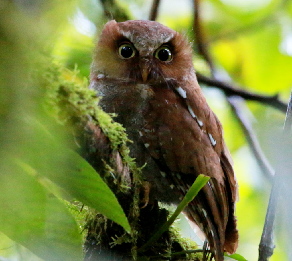 Flores Scops Owl - Flores Bird Watching