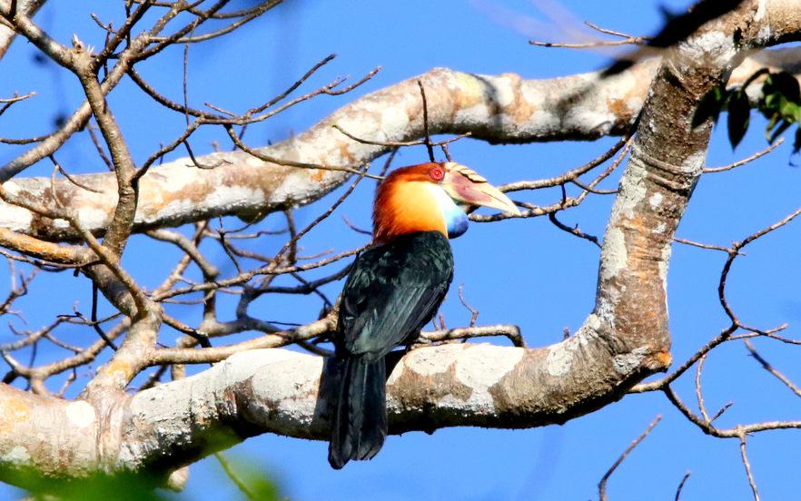 Sumba-Hornbill
