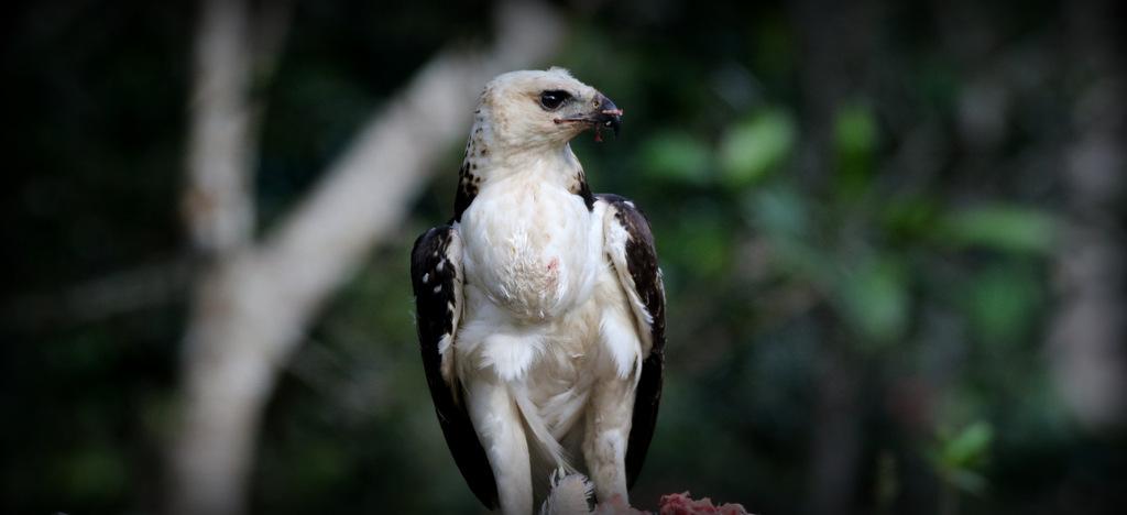 Flores-hawk-eagle